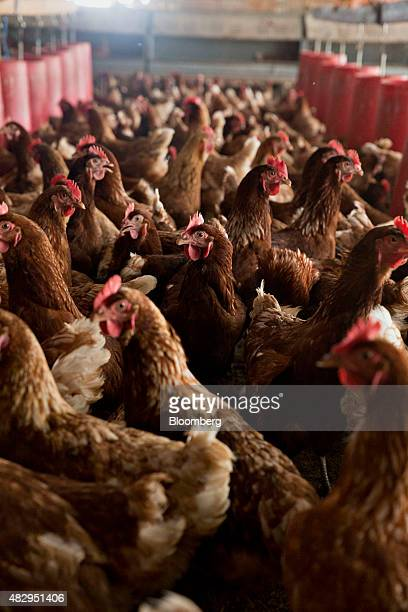 Lohmann Brown chickens stand in a barn at Meadow Haven Farm a certified organic family run farm in Sheffield Illinois US on Tuesday Aug 4 2015 US egg...