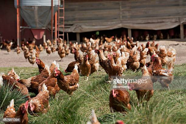 Lohmann Brown chickens stand outside a barn at Meadow Haven Farm a certified organic family run farm in Sheffield Illinois US on Tuesday Aug 4 2015...