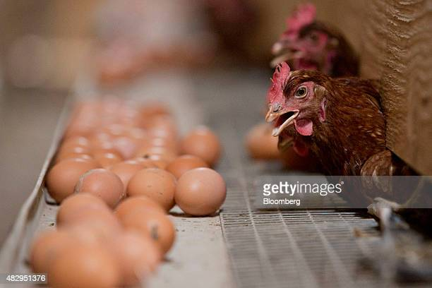 Lohmann Brown chickens stick their head out from a nesting box in a barn at Meadow Haven Farm a certified organic family run farm in Sheffield...