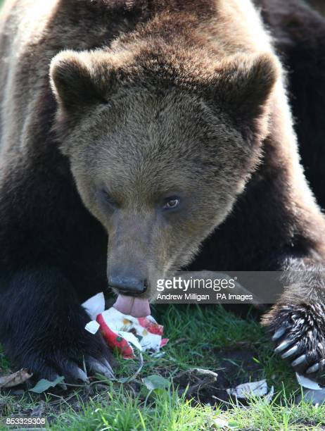 Loki one of the European brown bears at Blair Drummond Safari Park near Stirling eats an Easter egg and its contents after an Easter egg hunt in his...