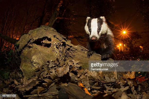 London Badger-Urban Wildlife