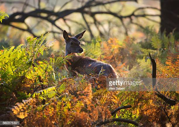 A young red deer looks on through the autumn foliage of Richmond park, London, England.