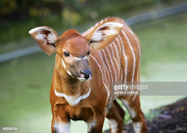 A male baby bongo calf ventures out into the cold with its mother 09 December 2005 in their enclosure at London Zoo The bongo is the largest antelope...