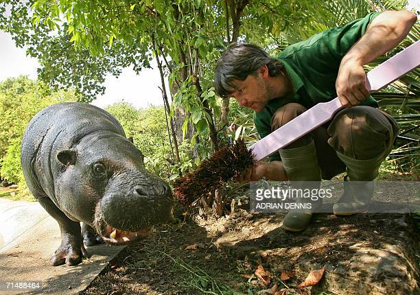 Paul Kybett a keeper at London zoo cleans the teeth of 'Nicky' one of two pygmy hippos at their enclosure at the zoo 20 July 2006 The hippos' teeth...