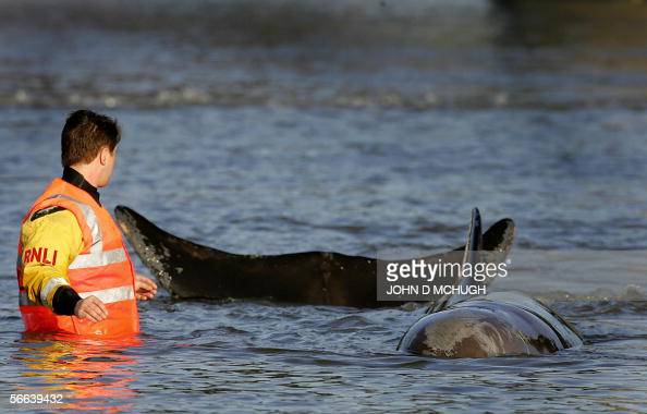 Rescuers begin their attempt to help a northern bottlenose whale that has been trapped in the river Thames in London for a second day 21 January 2006...
