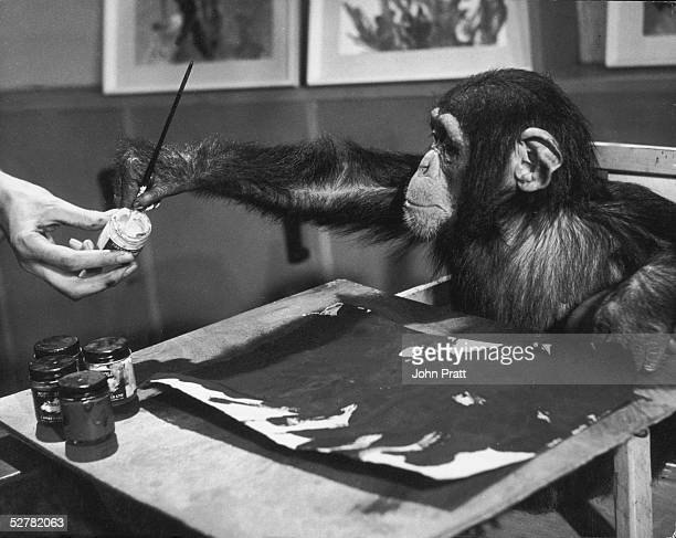 London Zoo celebrity chimpanzee Congo carefully loading his brush with more paint while at work on his latest masterpiece August 1957