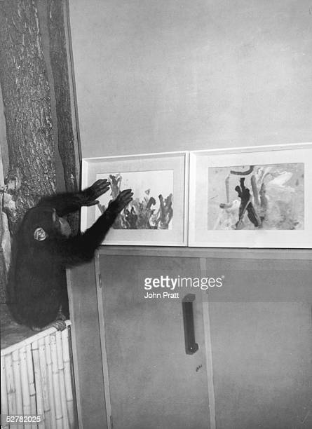 London Zoo chimpanzee Congo displaying some of his paintings at home August 1957