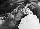 London Zoo Hippopotamus An Dhis Keeper