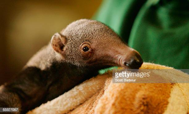 London Zoo's as yet unnamed baby giant anteater makes his public debut on August 5 2005 in London England The new addition to the zoo was born on 4th...