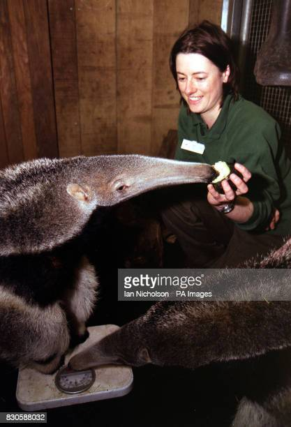 London Zoo's Senior Keeper in the 'Web Of Life' Amanda Ferguson attempts to weigh Giant Anteater twins Sol and Lua at the zoo The twins never stay...