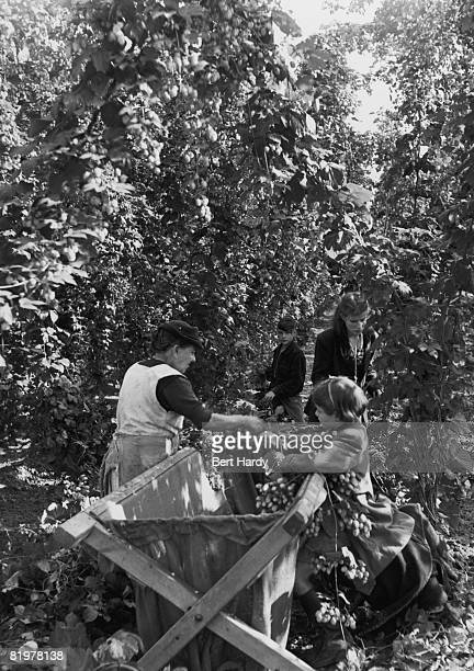 Londoners spend their holidays picking hops in the Kent countryside 22nd September 1951 Original Publication Picture Post 5413 Hopping Holiday pub...
