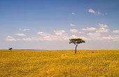Lone Acacia tree in savannah