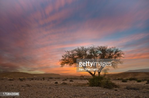 Lone acacia tree in Sunset in the desert
