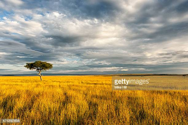 Lone acacia tree on Savannah, Kenya