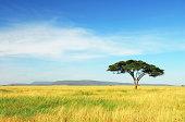 """Lone Acacia Tree amongst a golden field of grass in Serengeti National Park, Tanzania."""