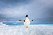 Lone adelie penguin on iceberg in Antarctica