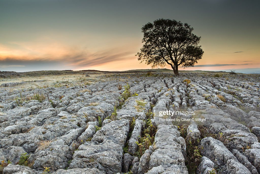 Lone Ash Tree on Limestone Pavement : Stock Photo