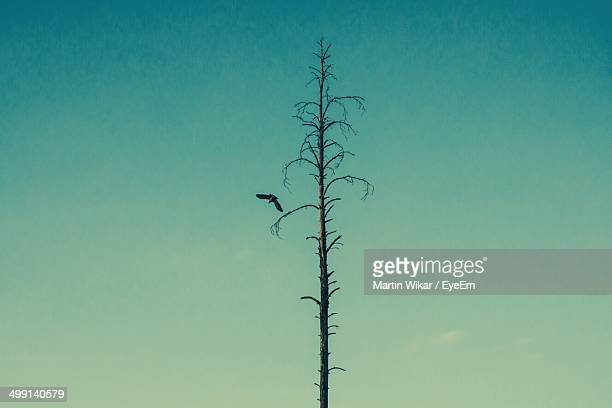 Lone bare tree and bird flying against clear sky