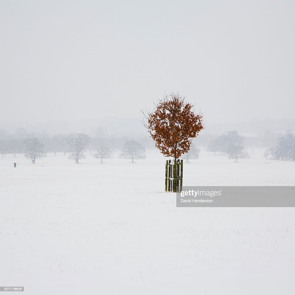 Lone Beech tree in snow : ストックフォト