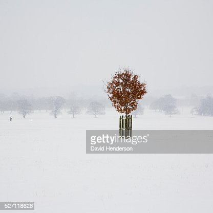 Lone Beech tree in snow : Stock Photo