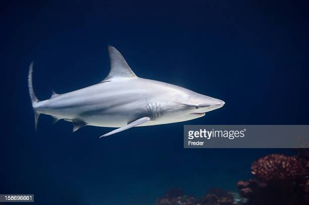 Lone blacktip shark swimming in the deep blue ocean
