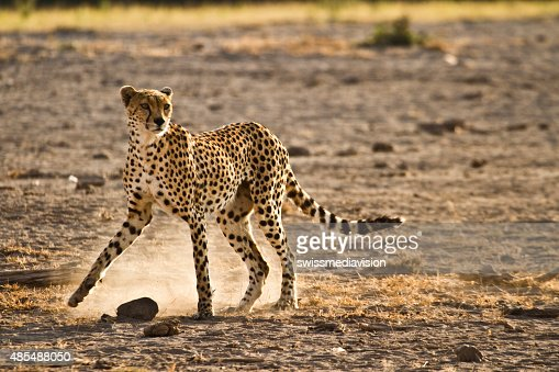 Lone cheetah walking in the savanna looking for pray