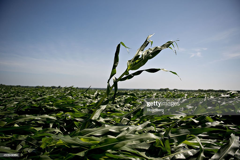 A lone corn plant stands among others blown over by high winds in a field near Tiskilwa, Illinois, U.S., on Tuesday, July 1, 2014. A powerful wind storm, known as a derecho, swept from the Midwest to the western Great Lakes yesterday, bringing devastating wind gusts, reported tornadoes and heavy rain into Illinois, Iowa, and Nebraska according to Weather.com. Despite the weather, corn fell for a third day to trade near the lowest level in more than five months on expectations that a record U.S. harvest of the grain will boost supplies for the top exporter. Photographer: Daniel Acker/Bloomberg via Getty Images