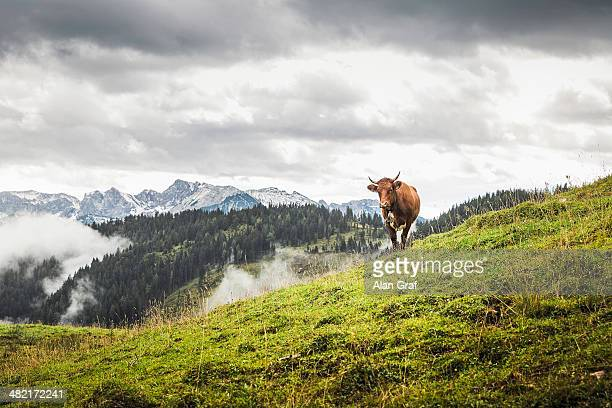 Lone cow and distant mountains, Archensee, Tyrol, Austria
