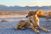 Lone Coyote settling in at Bad Water, Death Valley National Park