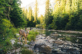 Image of a lone deer in a forest.