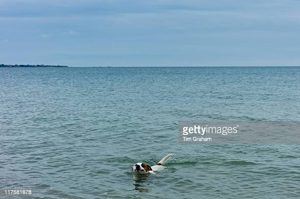 Lone dog Jack Russell terrier in the English Channel sea La Manche off the coast of Normandy France