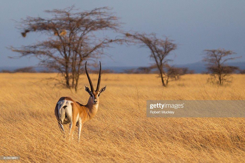 Lone Grant's Gazelle