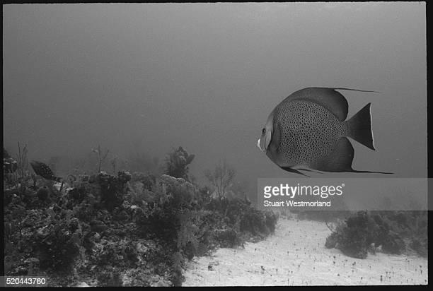 Lone Gray Angelfish