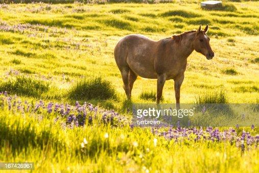 Lone Cavalo em um campo de grama e Bluebonnets : Foto de stock