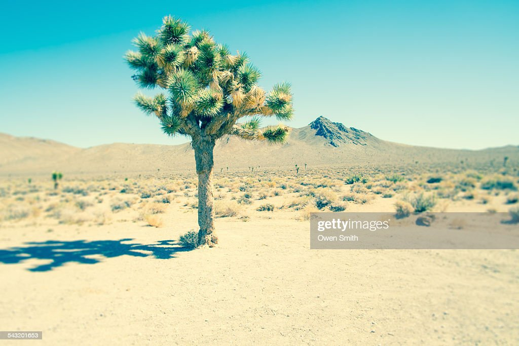 Lone joshua tree, Death Valley National Park, California, USA