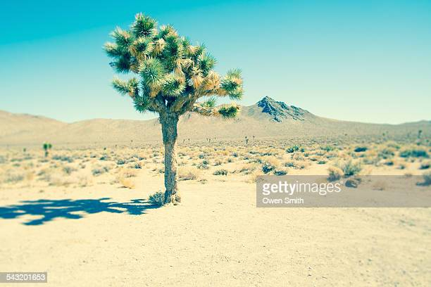 Lone joshua tree, Death Valley National Park, California, USA