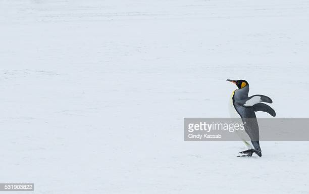 Lone King Penguin Waddling on the Snow