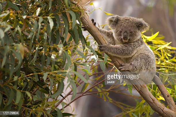 Lone koala hanging on the branches of a tree