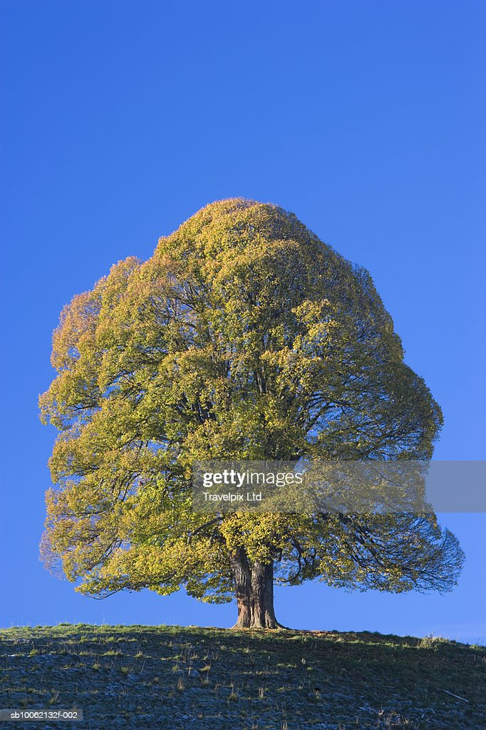 Lone Lime tree on top of hill in autumn : Stock Photo