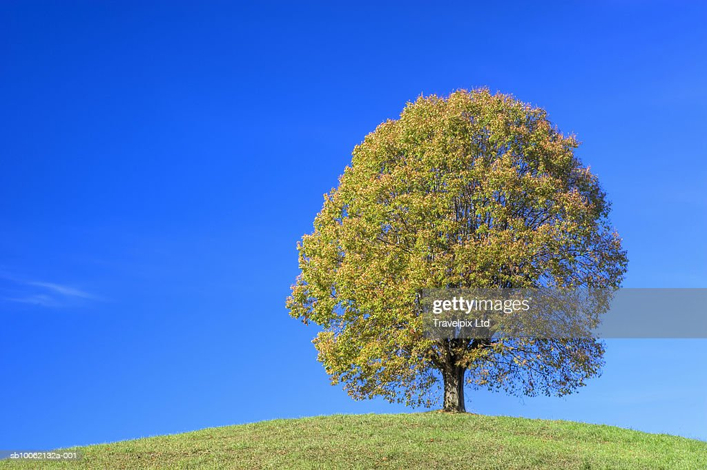 Lone Lime tree on top of hill : Stock Photo