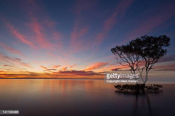 Lone mangrove tree, Fraser Island