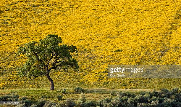 Lone Oak and Mustard Covered Hillside