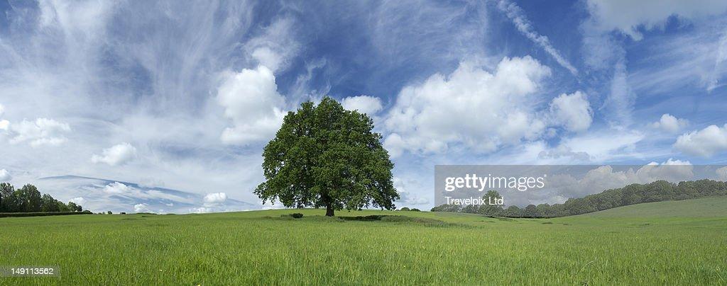 Lone oak tree in field, Leicestershire, UK : Stock Photo