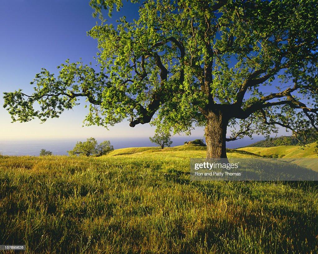 Lone Oak Tree On Hill Top (g) : Stock Photo