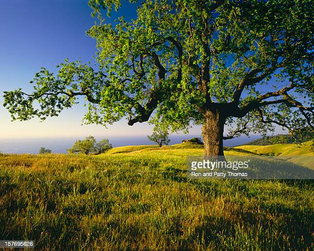 Lone Oak Tree On Hill Top (g)