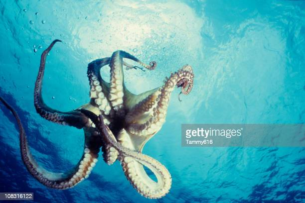 Lone octopus dancing underwater against the blue ocean