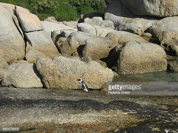 Lone Penguin at Boulders Beach