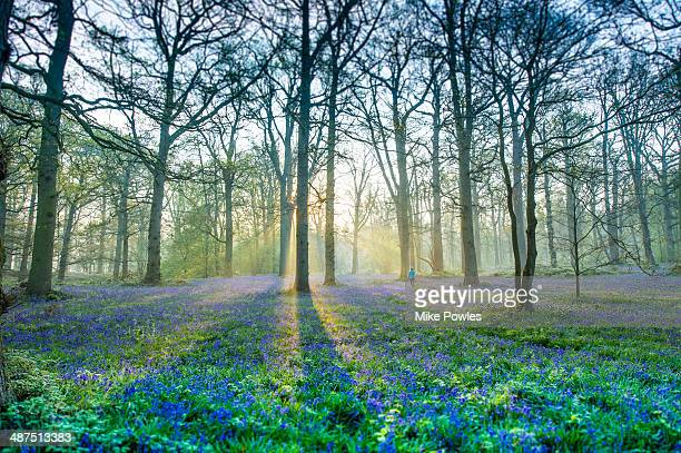 Lone person walking in bluebell woodland
