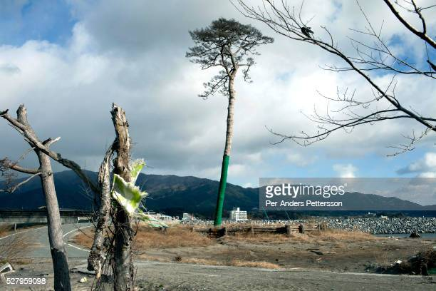 A lone pine tree estimated to be 260 years old which survived the tsunami stands on December 4 in Rikuzentakata Japan The area had an estimated 70000...