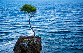 Lone pine tree is on the rock at the sea.
